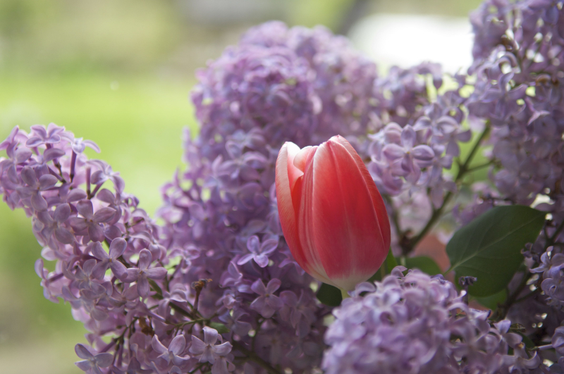 Tulip and lilacs 1
